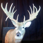 Huge typical Buck